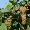 Cold Hardy Grapes: University of Minnesota Releases the Itasca Grape