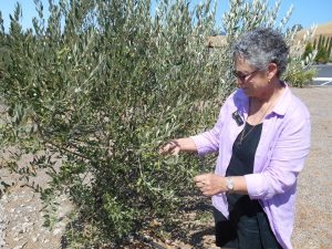 Ann shows an olive oil tree