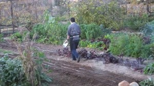 Chef in the garden getting greens for the next courses.