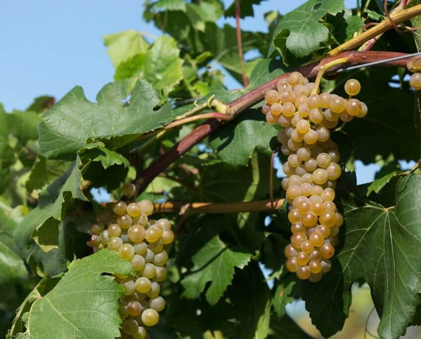 Itasca Grape