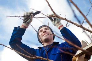 pruning in the vineyard