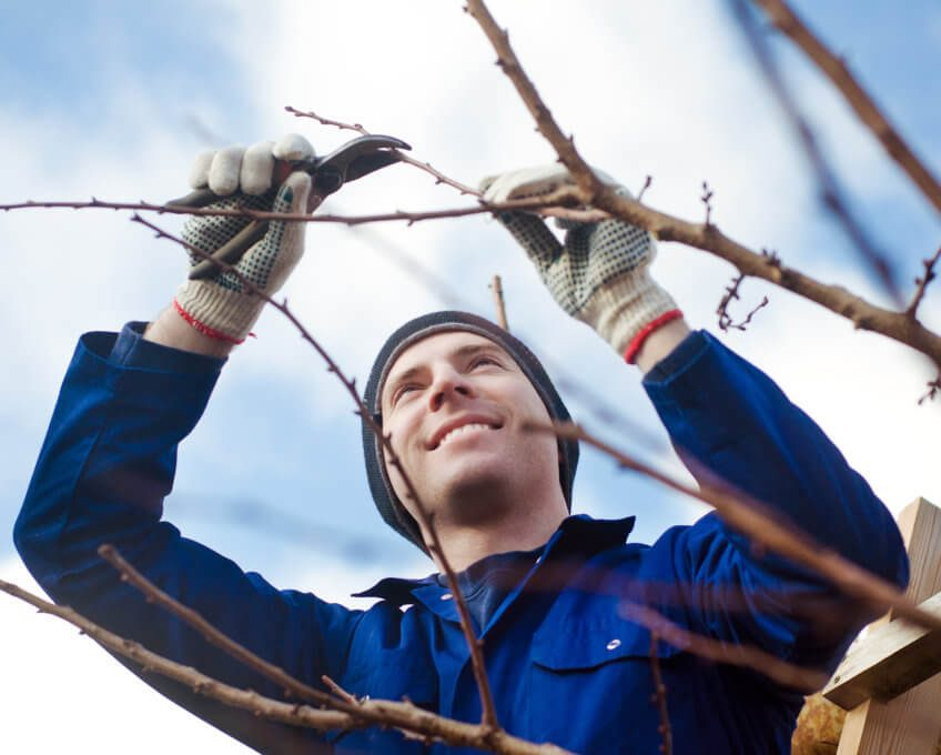 pruning in the vineyard