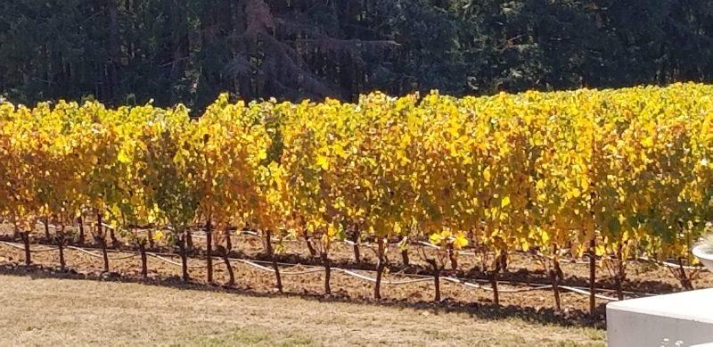 Oregon Vineyard in the sunshine