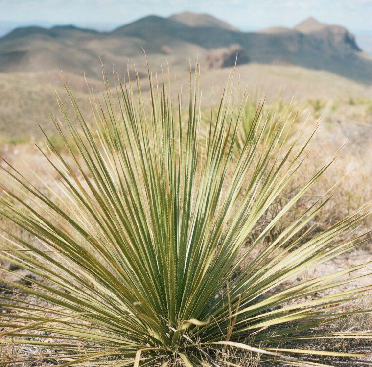 Sotol plant